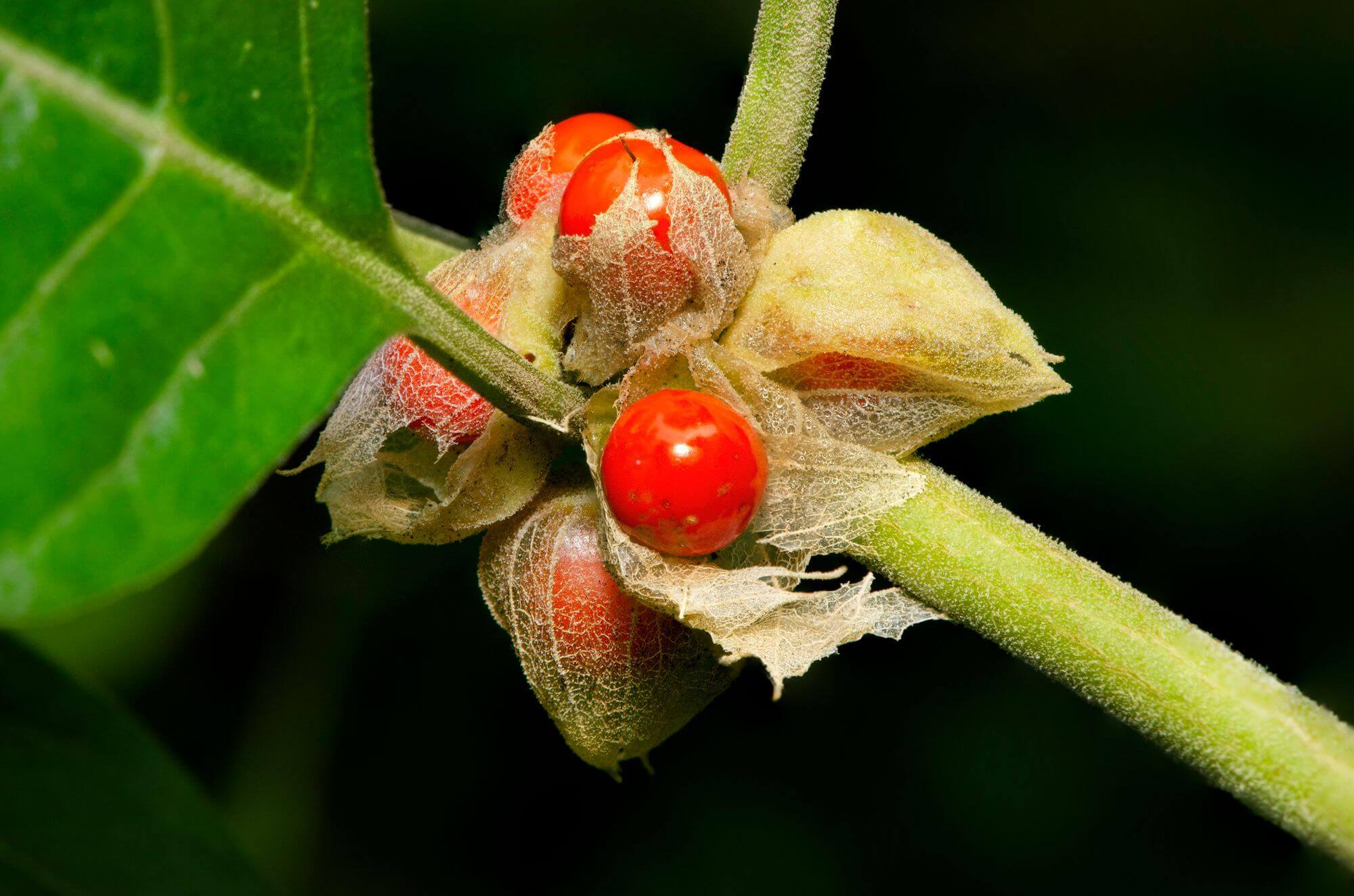 Commonly known as Ashwagandha (winter cherry)